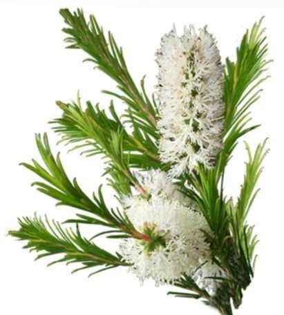 tea tree oil flower
